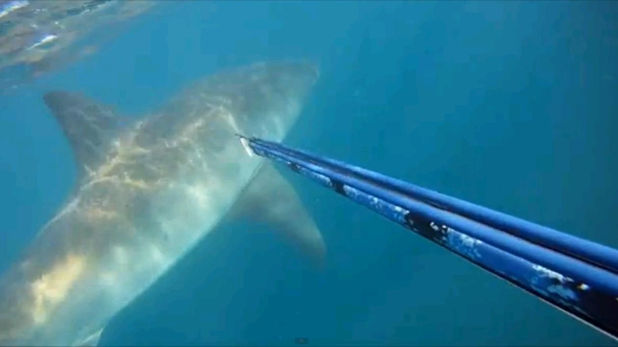 Des plongeurs nagent avec un requin blanc au large d'Hawaï