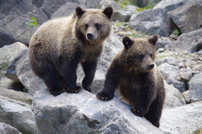 rencontre avec un ours que faire