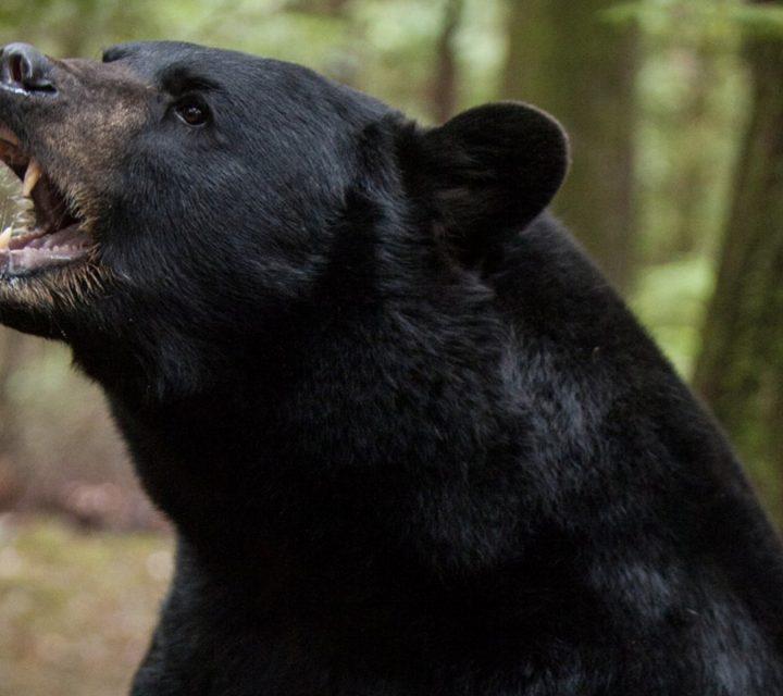 15 techniques pour survivre à une rencontre avec un ours